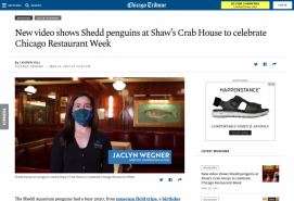 New video shows Shedd penguins at Shaw's Crab House to celebrate Chicago Restaurant Week