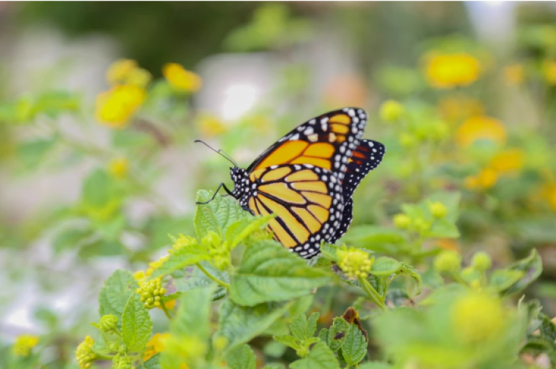 Carlsbad restaurant creates butterfly garden to teach diners about plight of monarchs